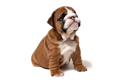 A small brown English bulldog puppy sits and looks at the camera. Isolated on white background