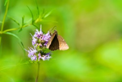 A small brown skipper butterfly gathers nectar at Wilderness Preserve, Adams County, Ohio.