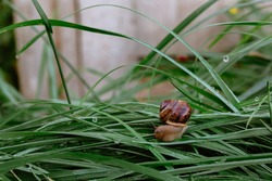 A small brown snail is crawling on wet grass with dew drops. Morning freshness. Wild nature. Farmer breeding of edible snails. Close-up.