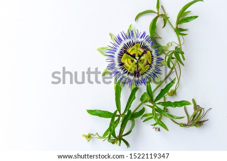 a small brunch with green leaves and blooming passionflower flower on white table, top of view. Number of sedatives contain passiflora as an active substance. copy space.
