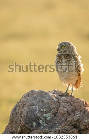 A small burrowing owl (Athene cunicularia) sitting on a rock scanning the prairies for food. #2