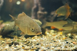 a small carp in a home aquarium