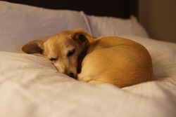 A small Chiweenie curled up and sleeping on a bed.