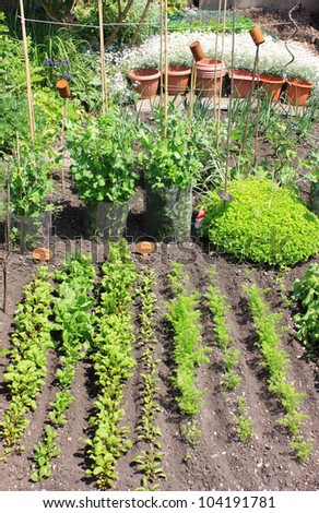 A small city vegetable garden/plot with a variety of organically growing seasonable vegetables. Beetroot,carrots,spinach,radish,peas,runner beans,broad beans,onions and parsnip.