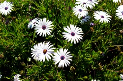 A small clump of African daisy Osteospermum plants from the Asteraceae species adds color to the winter and spring landscape with white ,pink and purple flowers.