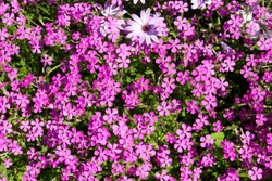 A small clump of African daisy Osteospermum  plants from the Asteraceae species with red campion Silene dioica Melandrium rubrum flowers  adds color to a winter landscape with pink purple flowers.