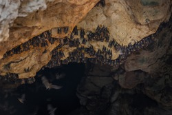 A small Colony of lesser short-nosed fruit bat roosting in a lime stone cave on the island of Sumbawa, Indonesia.