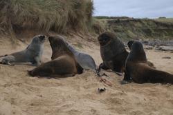 A small colony of sea lions at Waipapa point, Catlins, New Zealand, South Island