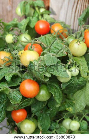 a small compact bush like tomato plant with cherry tomatoes at all stages of development