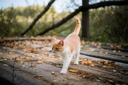 A small cute white and red kitten walks on a wooden bridge.