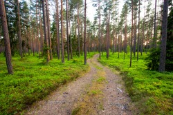 A small dirt path leading through a beautiful summery coniferous Pine grove in Estonian boreal forest.