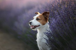 A small dog in the colors of lavender, breed Jack Russell terrier. Lavender field, Provence
