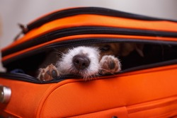 a small dog is hiding in a suitcase. Jack Russell Terrier looks out