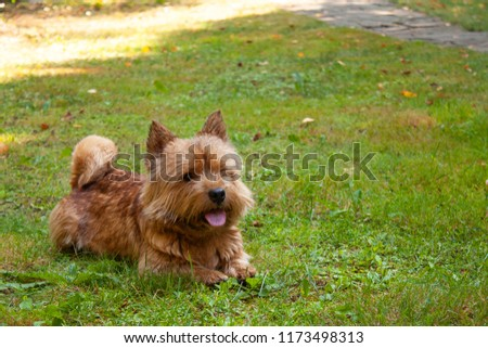 A small dog (Norwich Terrier) lies on the green grass with space for text #1173498313