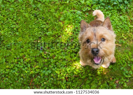 A small dog (Norwich Terrier) sits on the green grass and looks up at the camera. To the left of the dog a place under copy space #1127534036