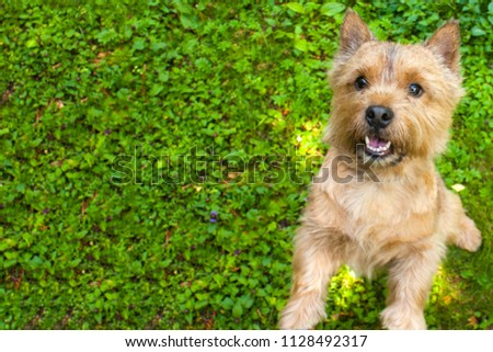 A small dog (Norwich Terrier) stands in the rear with raised paws on the green grass and looks into the camera. On the left of the dog the place under the text #1128492317