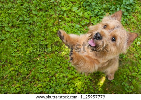 A small dog (Norwich Terrier) stands on the back with an extended tongue and raised paws on the green grass and looks at the camera. On the left of the dog the place under the text #1125957779