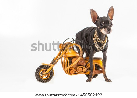 A small dog with a toy motorcycle. Dog biker. Luxury dog outfit. Dog breed Prague Ratter. Pedigree dogs. Pets. #1450502192