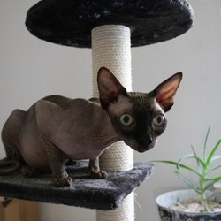 A small Donskoy on a cat playhouse at home