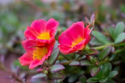 a small ecosystem on flowers Portulaca grandiflora