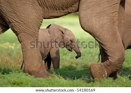 A small elephant calf walking behind its mother's feet in summer