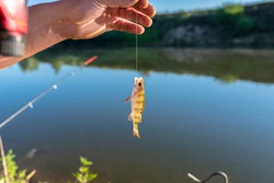 A small european perch caught on bait by the lake, hanging on a hook on a fishing rod, sunny morning.