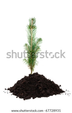 A small evergreen tree in soil, over a white background
