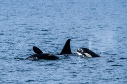A small family of three Killer Whales (Orcas) playing in the waters off the coast near Seward, Alaska.