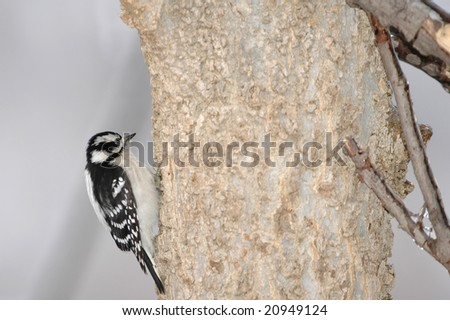A small female downey woodpecker working her way up the tree.