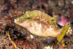 A small fish called fingerprint toby, or compressed toby, inhabits the shallow waters of Indonesia and exhibits colorful striations of green, orange and blue.