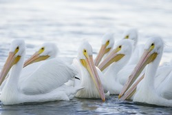 A small flock of American White Pelicans swim on the water with a bright white background.