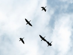 A small flock of black and white birds flies high above the ground against a blue sky with clouds