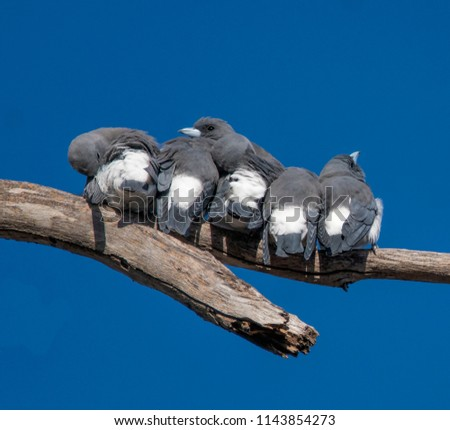 A small flock of White-Breasted Wood Swallows resting and dozing on a tree branch against a beautiful blue sky