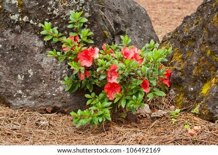 A small flowering shrub azaleas near the big stones - stock photo