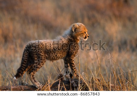 A small, fluffy cheetah cub standing on a log showing the side of its body