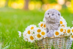 A small fluffy gray kitten of the Scottish breed sitting in a basket inside a bouquet of daisies on green grass, leaning its paws on a basket and looking to the side