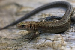 a small forest lizard reptile basking in the sun on a warm piece of wood.