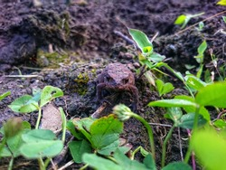 A small frog in the dirt.Wood Frog in Forest in Summer.