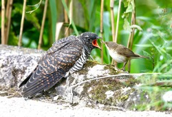 A small gray bird feeds a large cuckoo chick, she brazenly put her egg in someone else's nest