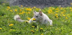 a small gray Maine Coon cat lies on the grass and sniffs a dandelion flower