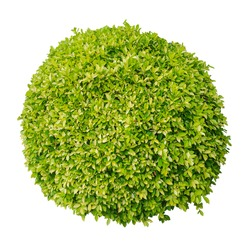 A small green bush on a white background.Clipping Path.isolated.