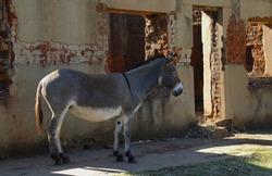 A small grey donkey rests in the shade of a dilapidated run down old house landscape format