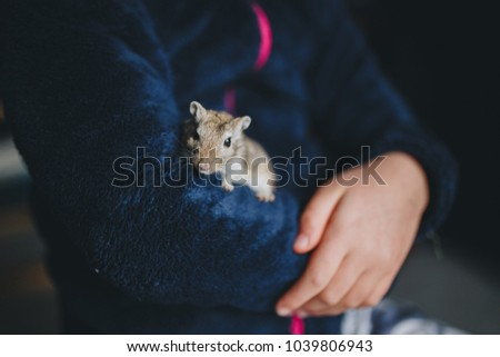 a small grey gerbil walks in the arms of a child
