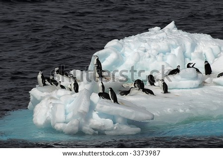 A small group of Antarctic chinstrap penguins on a drifting ice floe. Picture was taken in the Southern Ocean during a 3-month Antarctic research expedition.