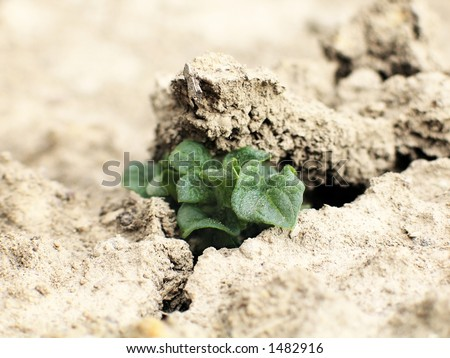 A small growing potato plant breaking through hard dry soil. Symbol of green power. High key, low DOF.