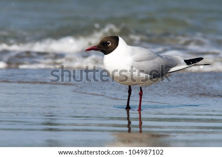 a small gull stands on the beach in the surge