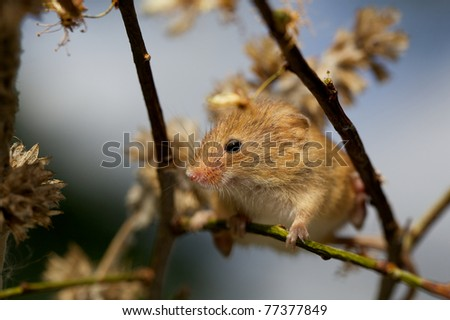 A small harvest mouse