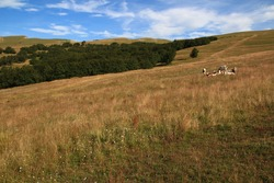 A small herd of cows ruminates on the large meadow  of the Beure mountain, a summer pasture area (Vercors, France)