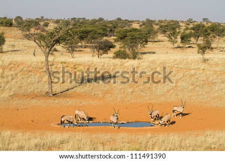 A small herd of gemsbok gather to drink at a waterhole in the Kgalagadi Transfrontier Park