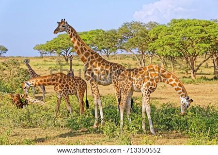 A small herd of giraffes feeding in natural habitat, Murchison Falls National Park, Uganda, Africa.